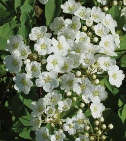 Świdośliwa olcholistna 'Martin' - Amelanchier  alnifolia 'Martin'