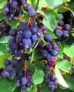 Świdośliwa olcholistna 'Mandam' - Amelanchier  alnifolia 'Mandam'