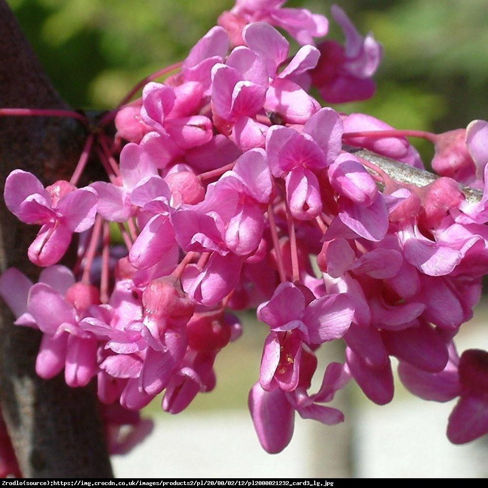 Judaszowiec kanadyjski Lavender Twist - PRZEWISAJĄCY, MROZOODPORNY - Cercis canadensis Lavender Twist