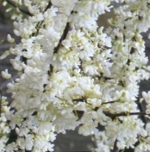 Judaszowiec kanadyjski Vanilla Twist - BIAŁE KWIATY, PRZEWISAJĄCY - Cercis canadensis Vanilla Twist