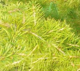 Cedr libański Atlantica Aurea - Cedrus libanii Atlantica Aurea