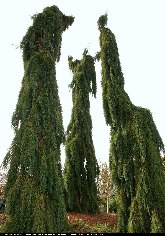 Mamutowiec olbrzymi (sekwoja olbrzymia) Pendulum - Sequoiadendron giganteum Pendulum