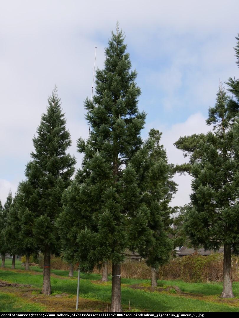 Mamutowiec olbrzymi (sekwoja olbrzymia) Glaucum - Sequoiadendron giganteum Glaucum