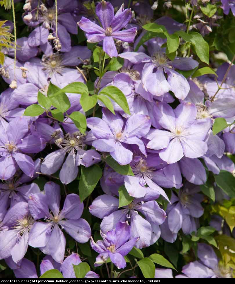 Powojnik Mrs Cholmondeley - Clematis Mrs Cholmondeley
