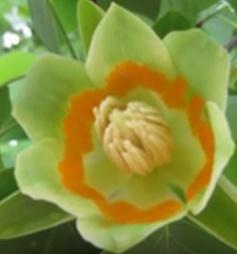 Tulipanowiec amerykański 'Aureomarginatum' - Liriodendron tulipifera 'Aureomarginatum'