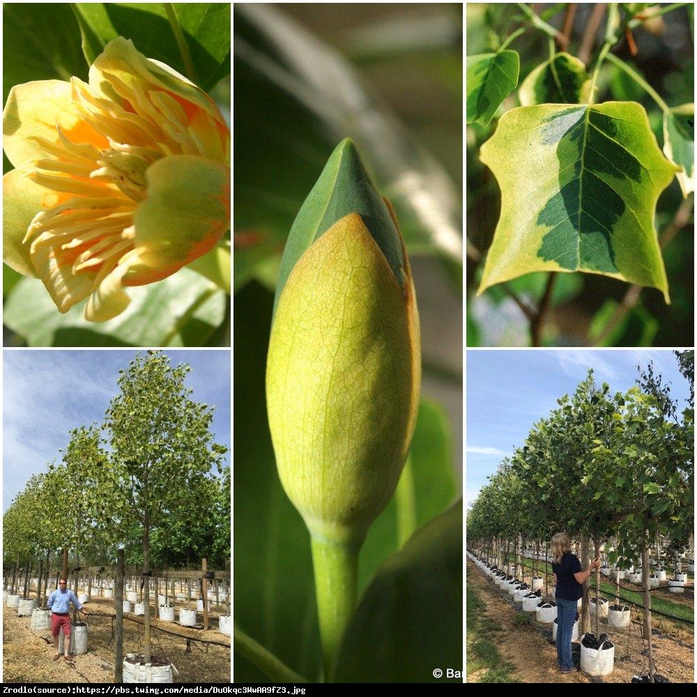 Tulipanowiec amerykański Aureomarginatum - Liriodendron tulipifera Aureomarginatum