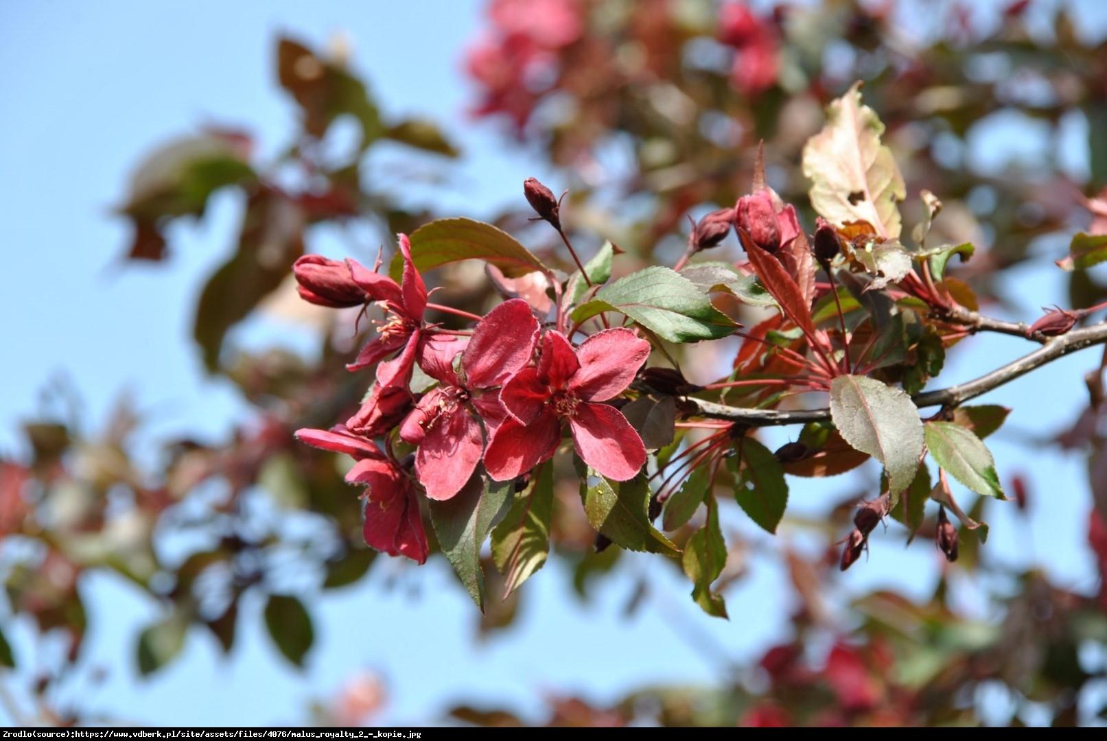 Jabłoń Royalty - Malus Royalty