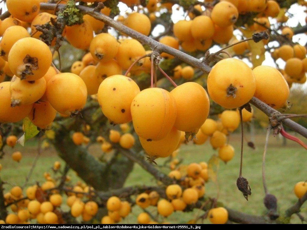 Jabłoń Golden Hornet - Malus Golden Hornet