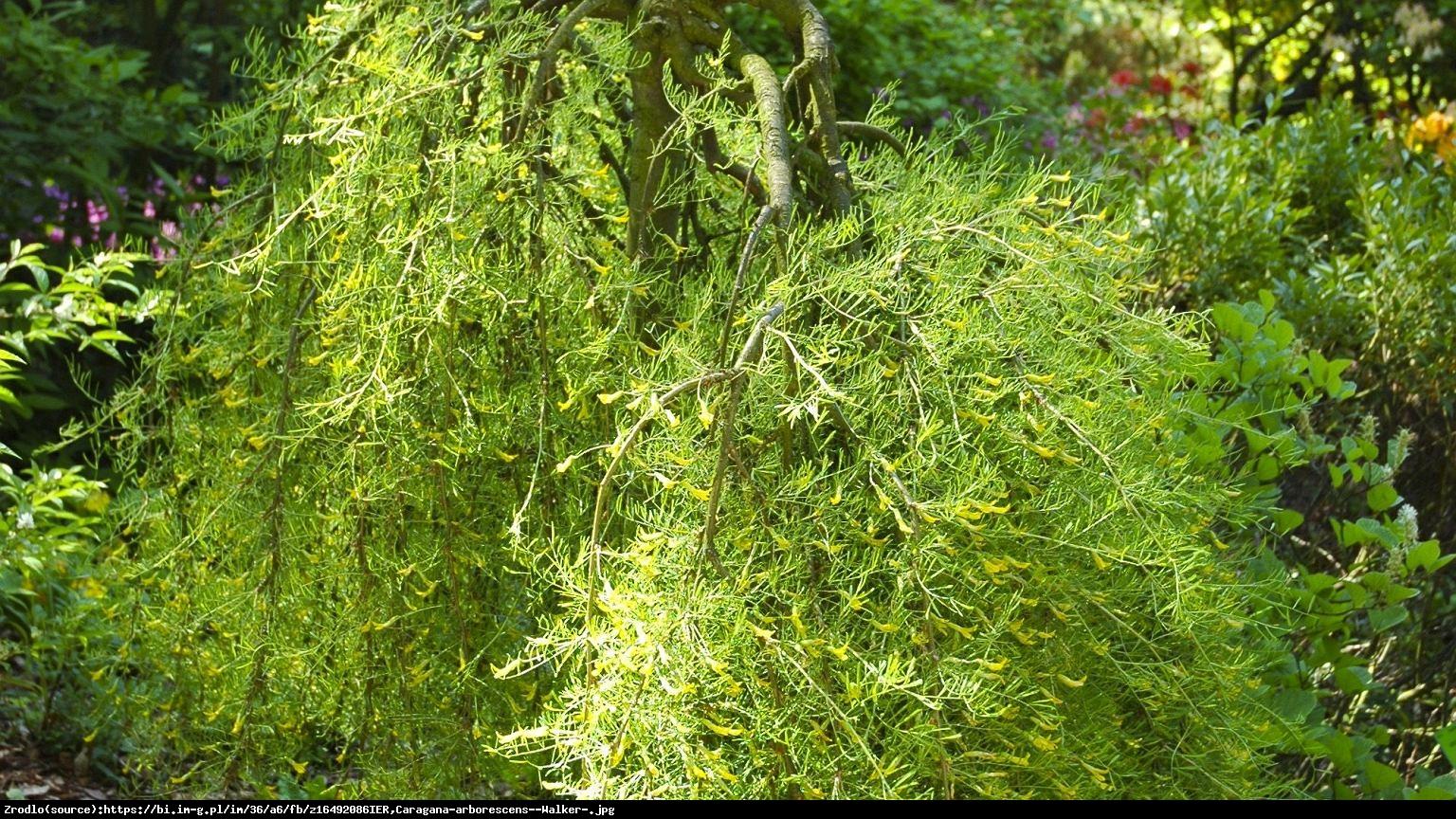 Karagana syberyjska Walker - Caragana arborescens Walker