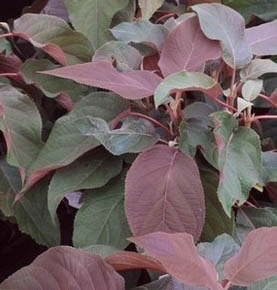 Hortensja omszona 'Hot Chocolate' - Hydrangea aspera 'Hot Chocolate'