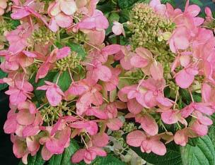 Hortensja bukietowa 'Magical Flame' - Hydrangea paniculata 'Magical Flame'