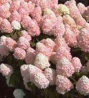 Hortensja bukietowa 'Magical Sweet Summer' - Hydrangea paniculata 'Magical Sweet Summer'