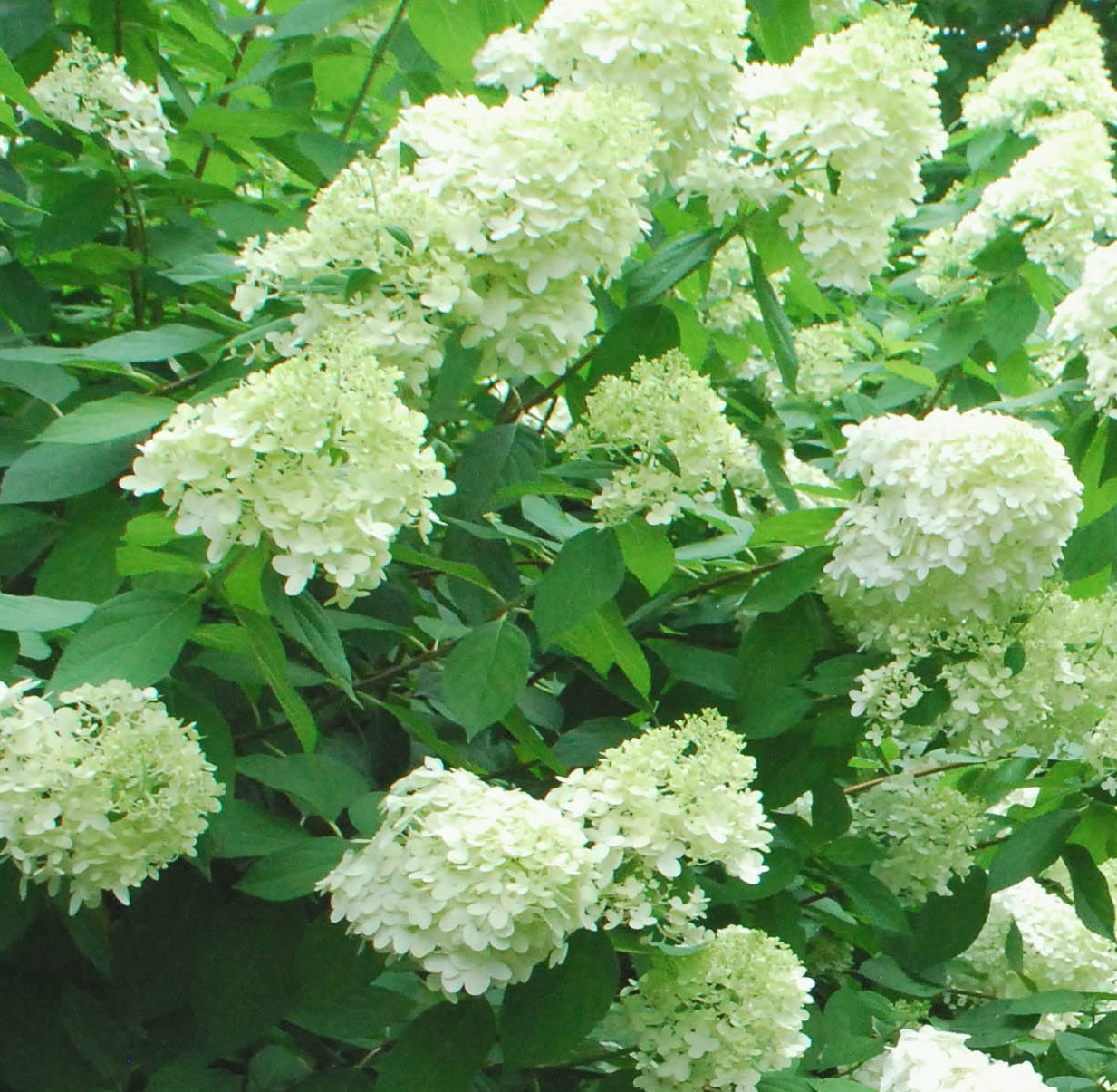 Hortensja bukietowa 'Magical Moonlight' - Hydrangea paniculata 'Magical Moonlight'