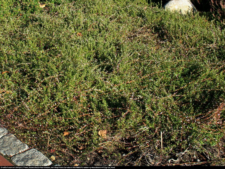 Żurawina wielkoowocowa Pilgrim - Vaccinium macrocarpon Pilgrim