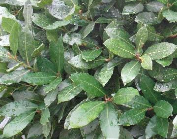 Wawrzyn szlachetny (Drzewo laurowe) - Laurus nobilis