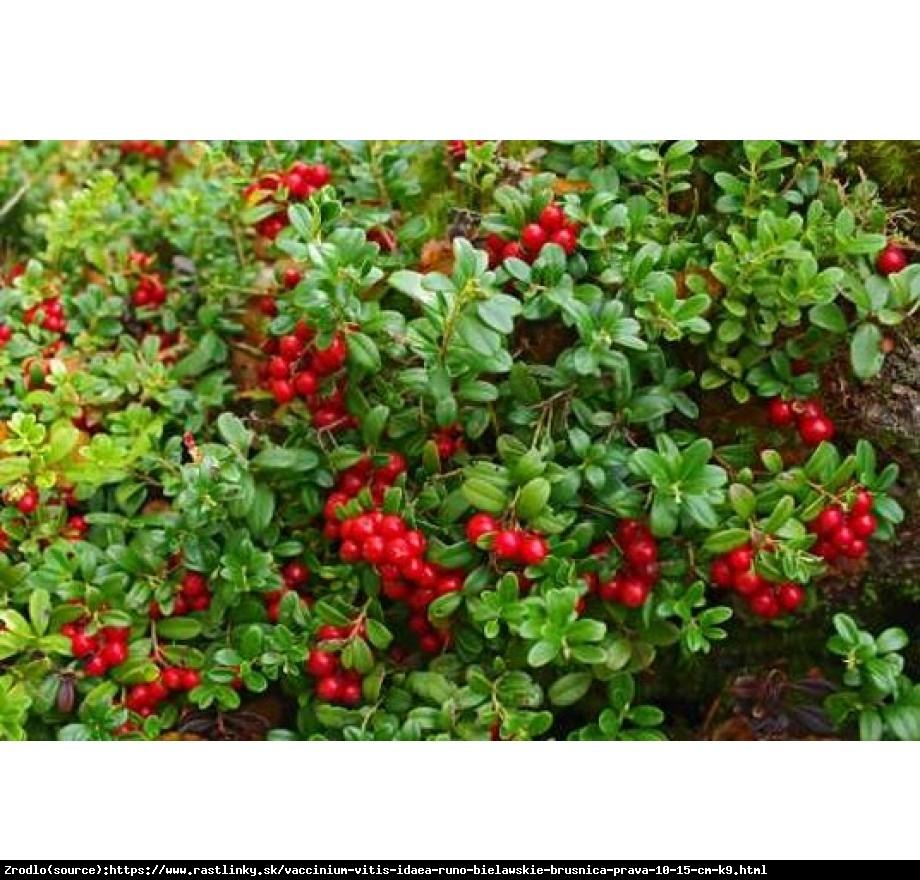 Borówka brusznica Runo Bielawskie  - Vaccinium vitis-idaea Runo Bielawskie