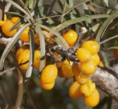 Rokitnik pospolity Botaniczeskaja - Hippophaë rhamnoides Botaniczeskaja