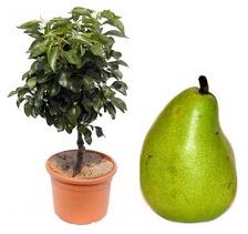 miniGrusza 'Garden Pearl®'  - Pyrus 'Garden Pearl®'