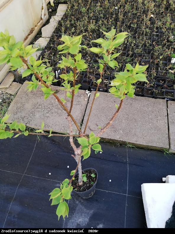 mini Morela ApriGold - Prunus armeniaca ApriGold